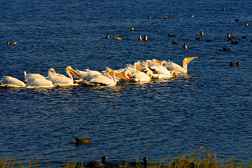 White Pelicans on Merritt Island National Wildlife Refuge