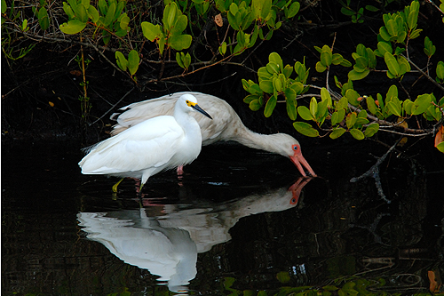 White Ibis and Snowy Egret