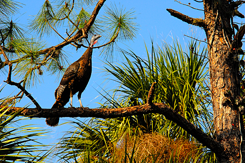 Florida Wild Turkey