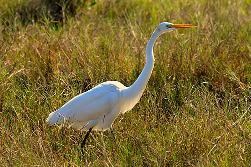 Greater Egret, Merritt Island National Wildlife Refuge